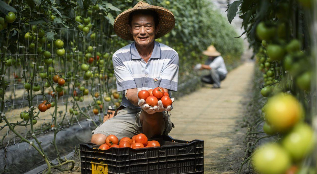 安心良食 張班長的「龜毛」蕃茄